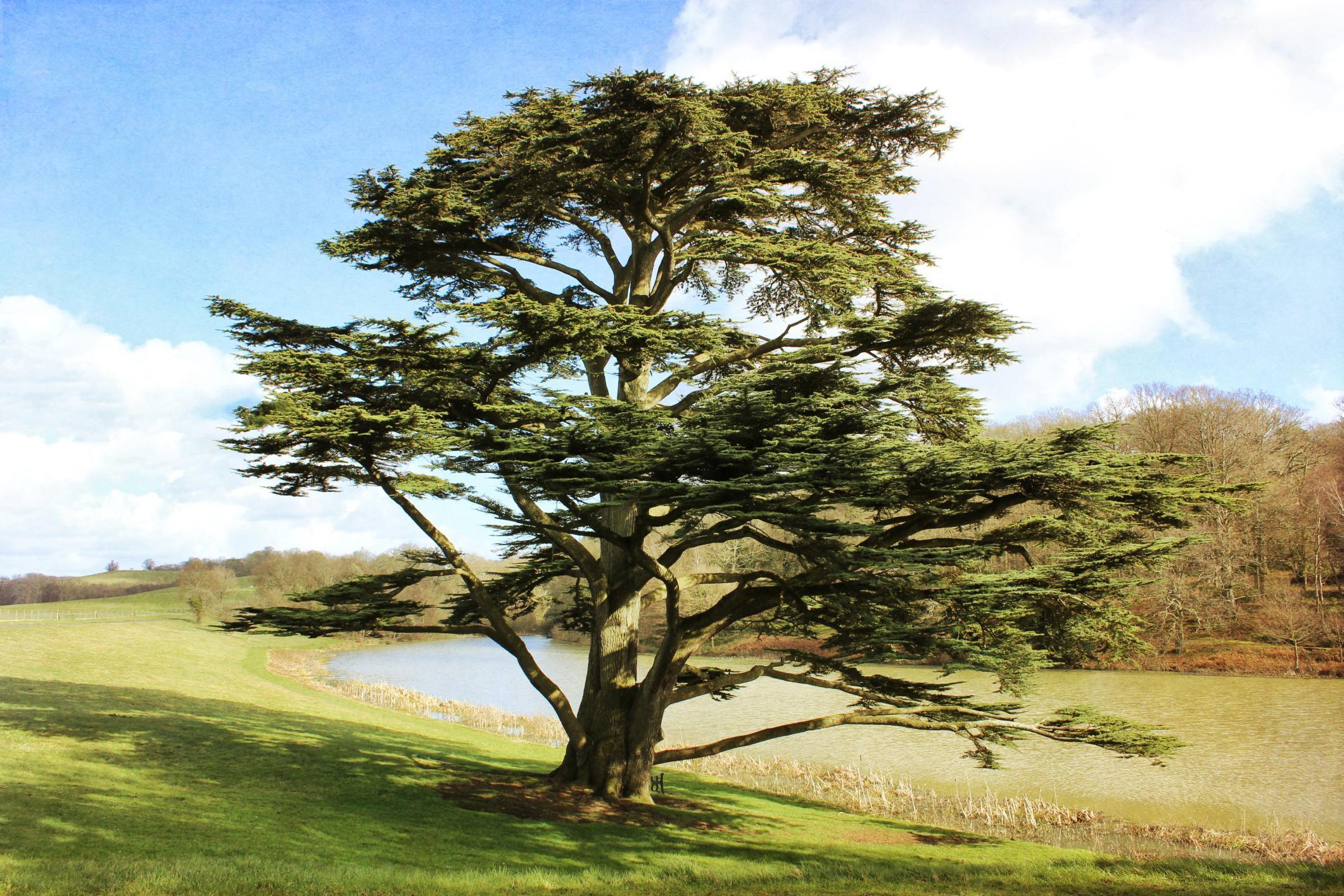 Cedars Of Lebanon ~ Growing the cedar of lebanon tree