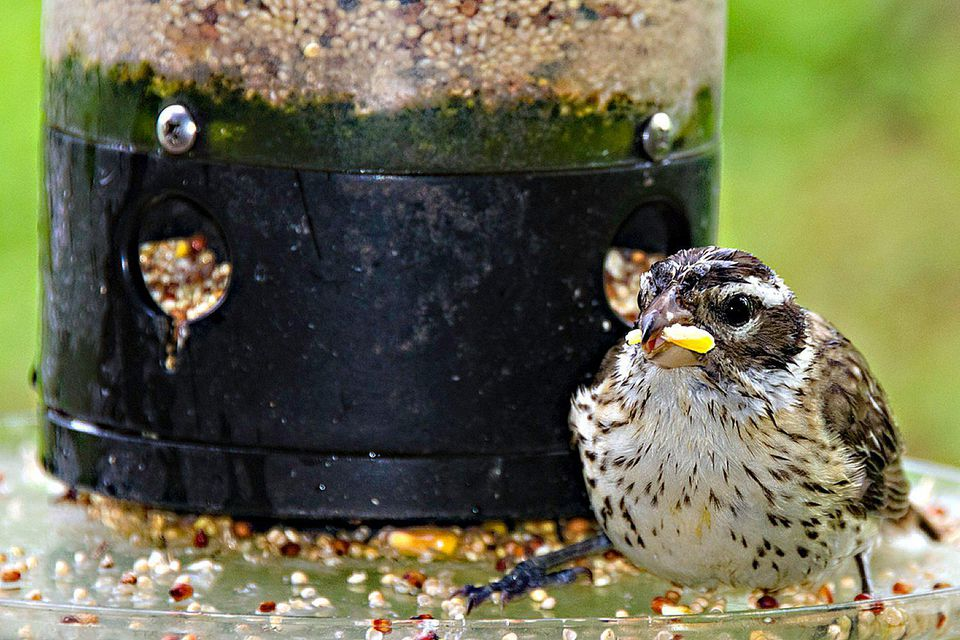 Wet Bird Feeder With Spoiled Seed