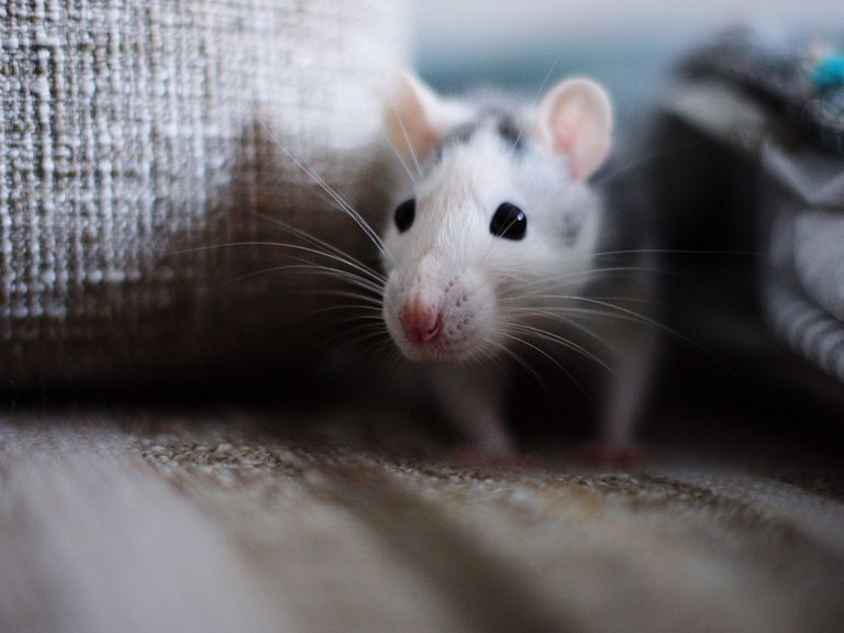 Close-Up View Of Mouse