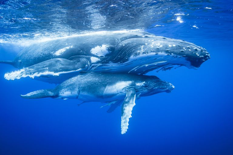 Humpback Whales / Cultura/Richard Robinson/Cultura Exclusive/Getty Images