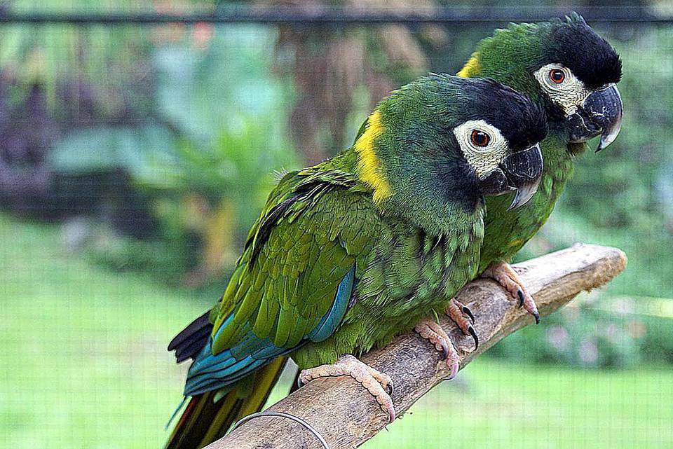 Two Golden-collared Macaws (also known as Yellow-collared Macaws) at Pana'ewa Rainforest Zoo, Hawaii, USA.