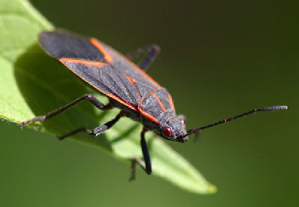 . Keep Black and Red Boxelder Bugs Out of Your Home