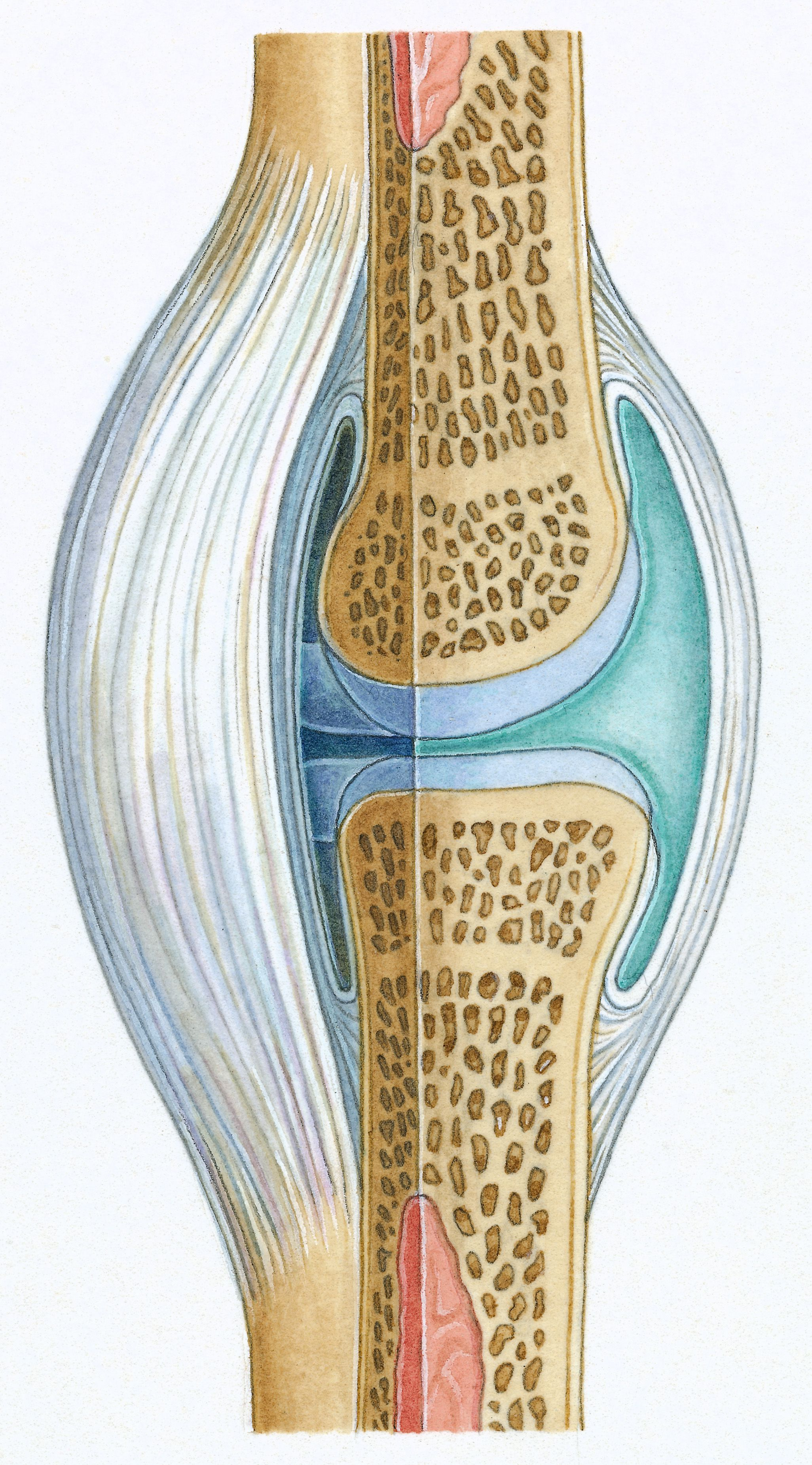 The Function Of Synovium In A Joint