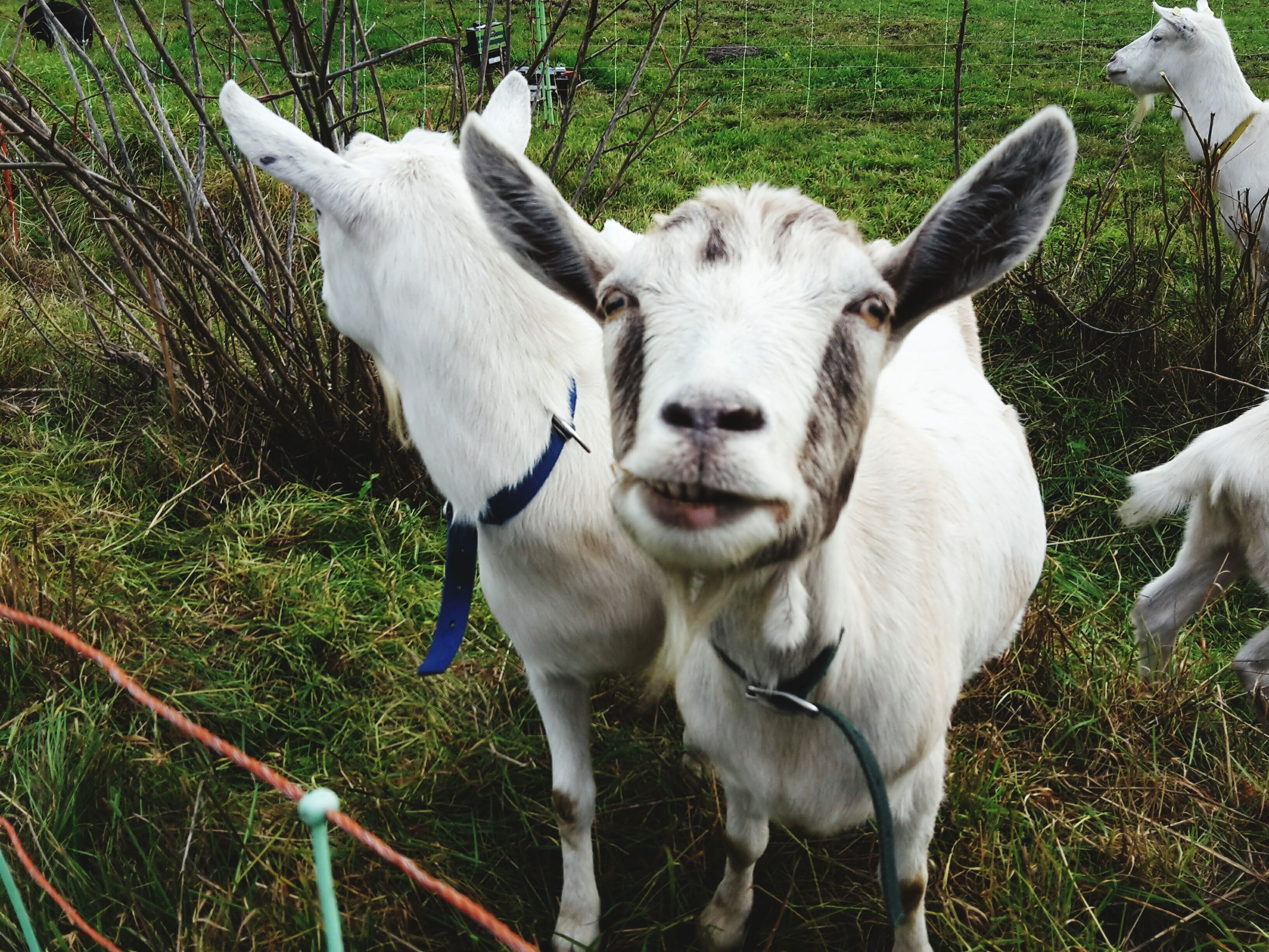 benefits of raising goats on a small farm