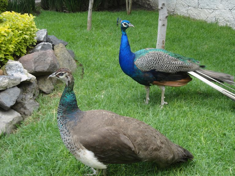Peacock and peahen.