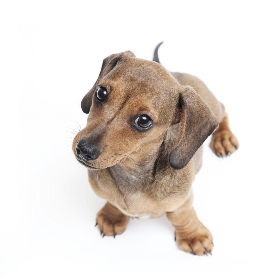 Puppy Strangles: Disease Overview, Symptoms, Treatment