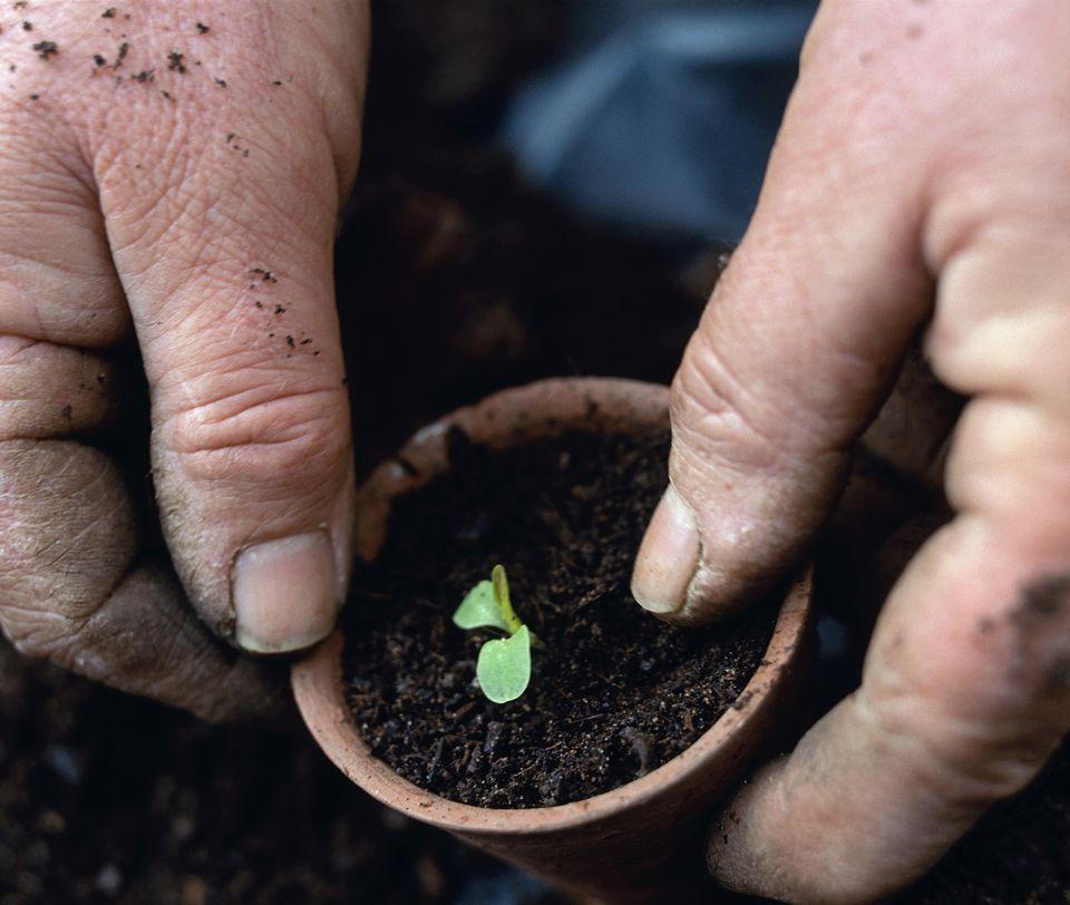 Person planting lettuce (Lactuca sativa)