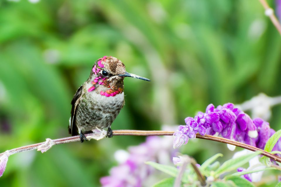 Hummingbird sitting on a butterfly bush