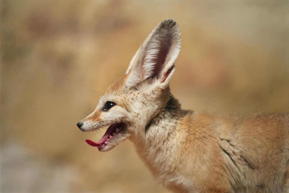 interesting facts about red foxes The fennec fox is the smallest of all the world's foxes, weighing only 22 pounds (1 kilogram) it has enormous ears, measuring 6 inches (15 centimeters), which it appears to have borrowed from a much bigger relative.