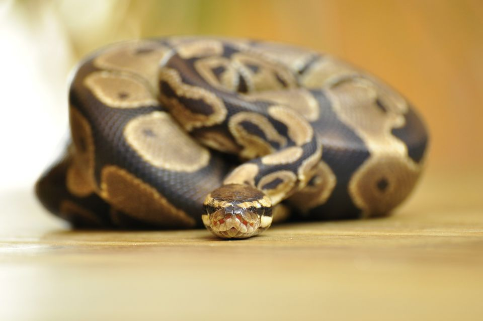 Do Ball Pythons Eat Cats