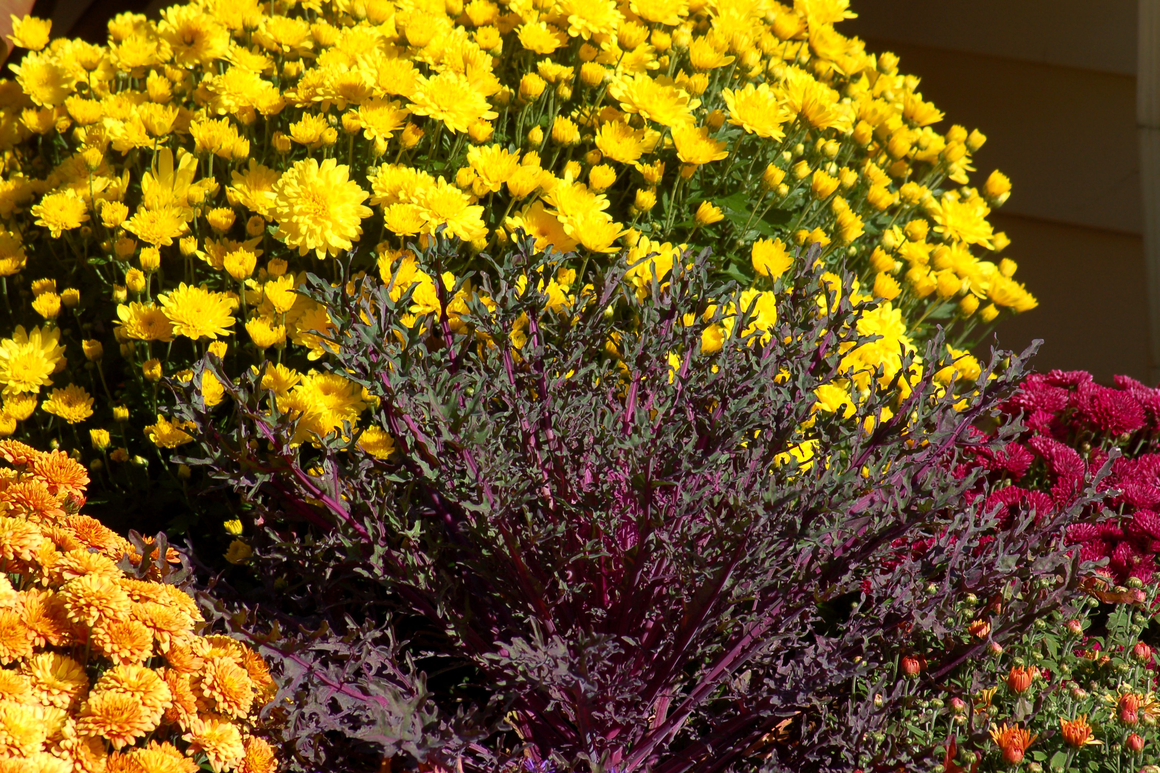 Chrysanthemums and hardy mums colorful fall flowers izmirmasajfo Gallery