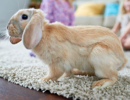 domesticated pet rabbits Their attractive appearance and quiet manner have made domestic rabbits good and relatively undemanding pets because they are easily.