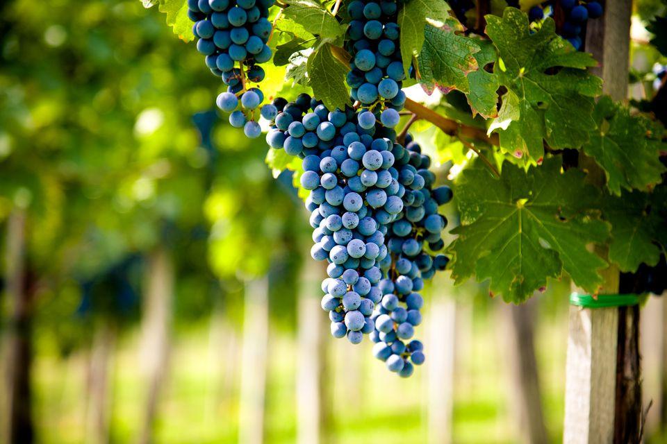 Red wine vineyard