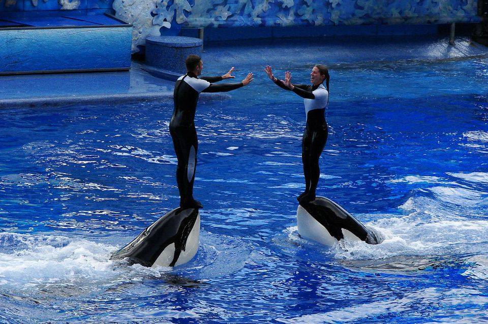 Killer whales and trainers during a 2009 Shamu performance at Seaworld in Orlando, Florida.