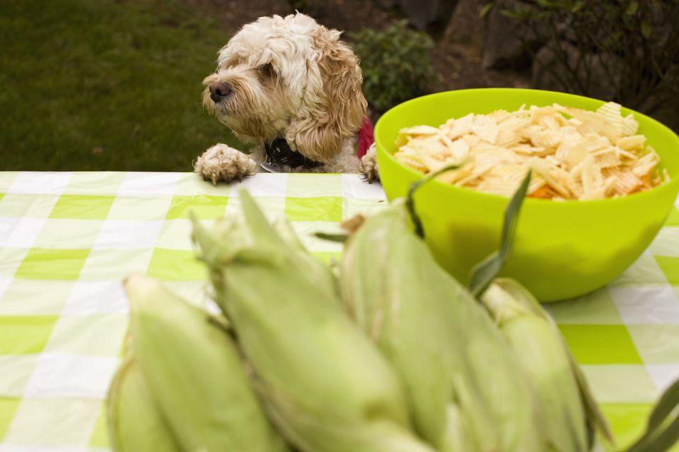Dog climbing on picnic table with potato chips and corn on the cob