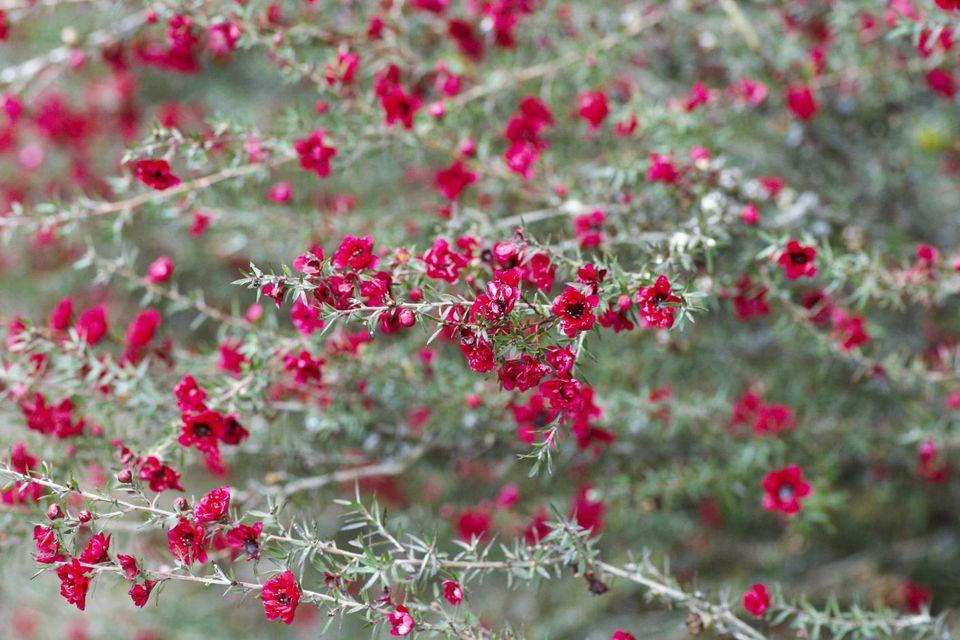 Tea tree (Leptospermum scoparium)