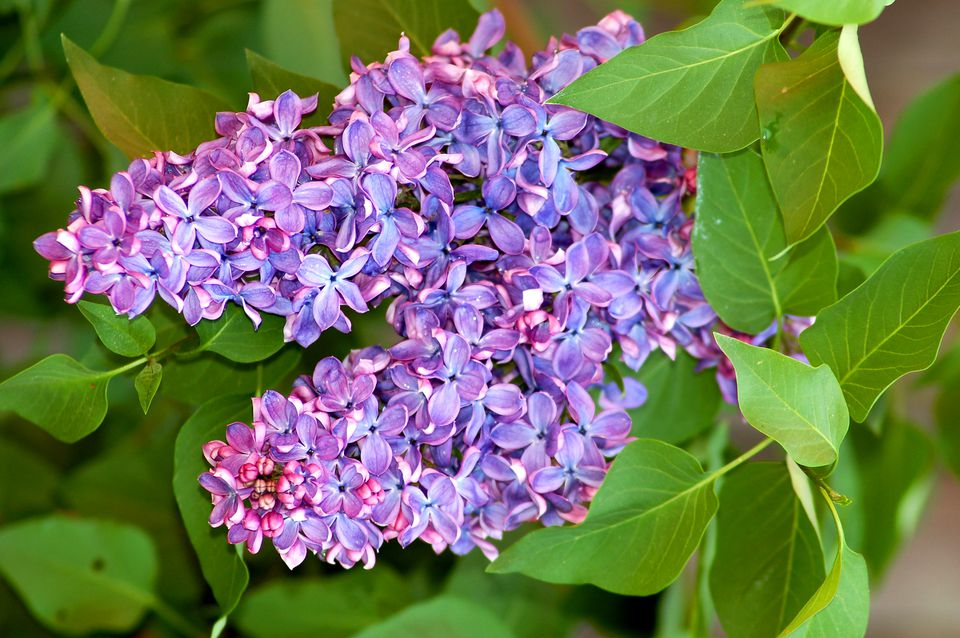 Lilacs (image) are big, beautiful, fragrant. The purple flowers bloom in May.