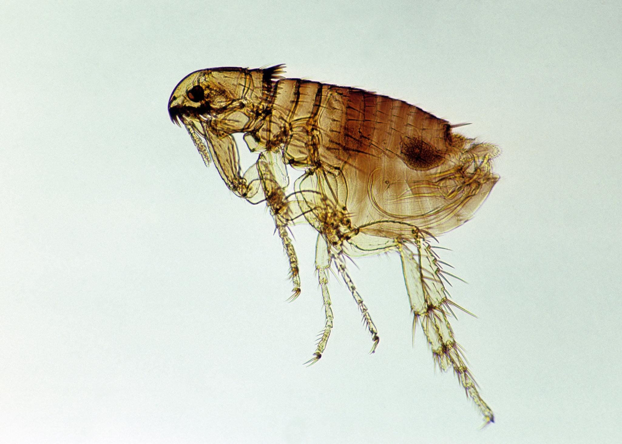 flea life cycles and how to get rid of fleas