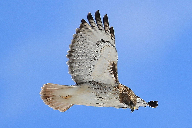 Raptor Definition Bird Of Prey Types Of Birds