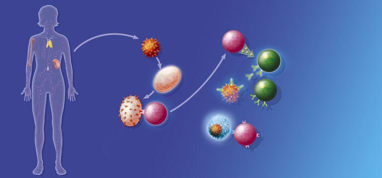 Cytokines in an immune reaction.