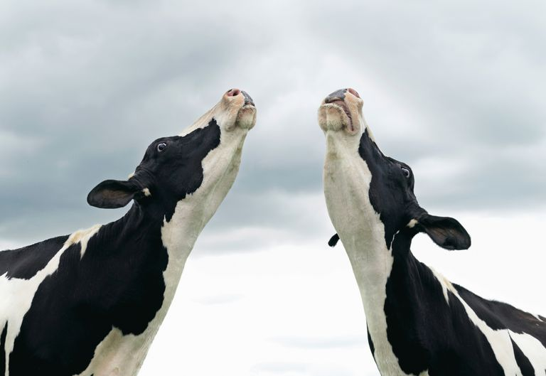 Happy dairy cows and calcium.