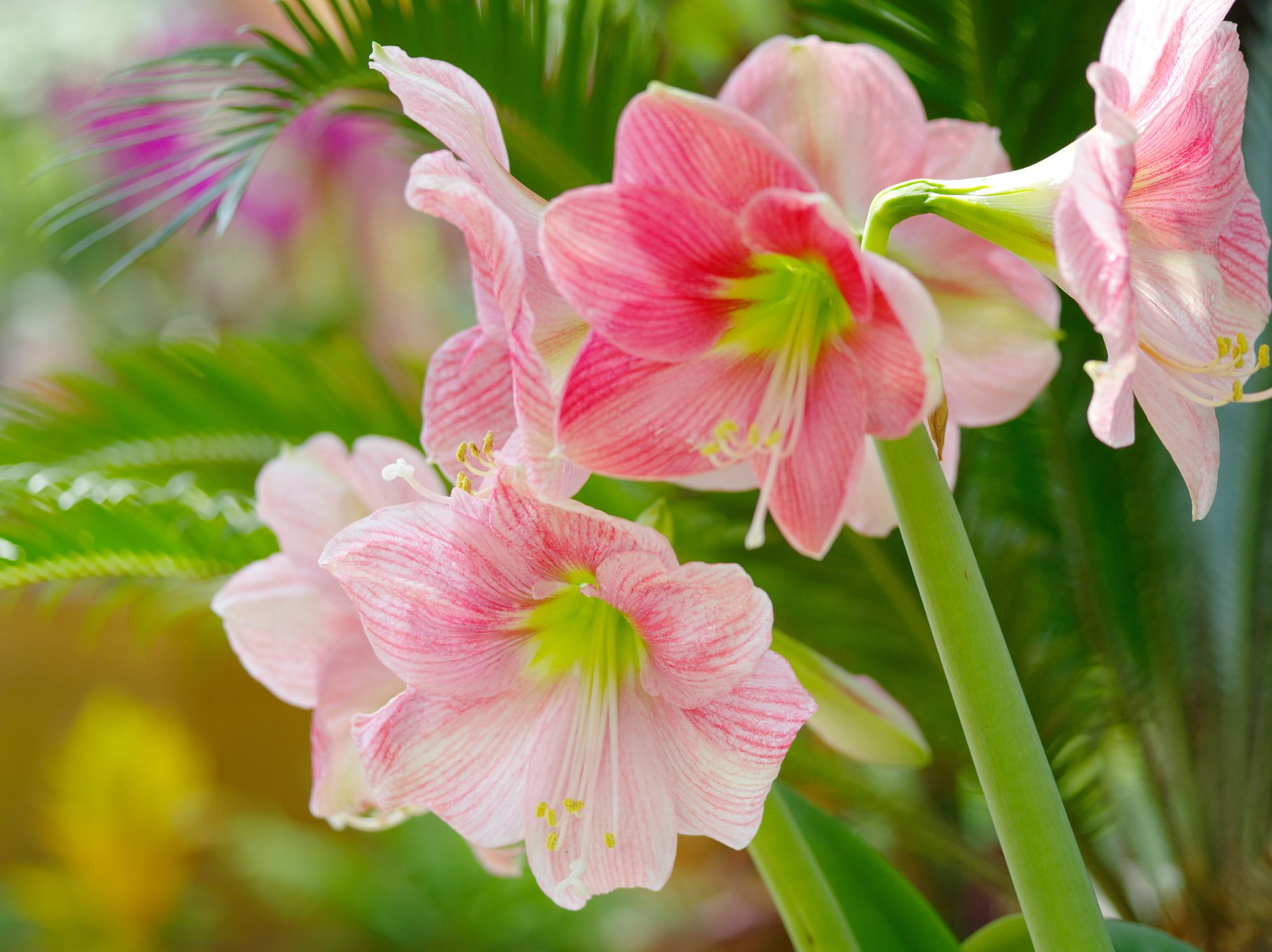 How To Get Your Amaryllis To Flower
