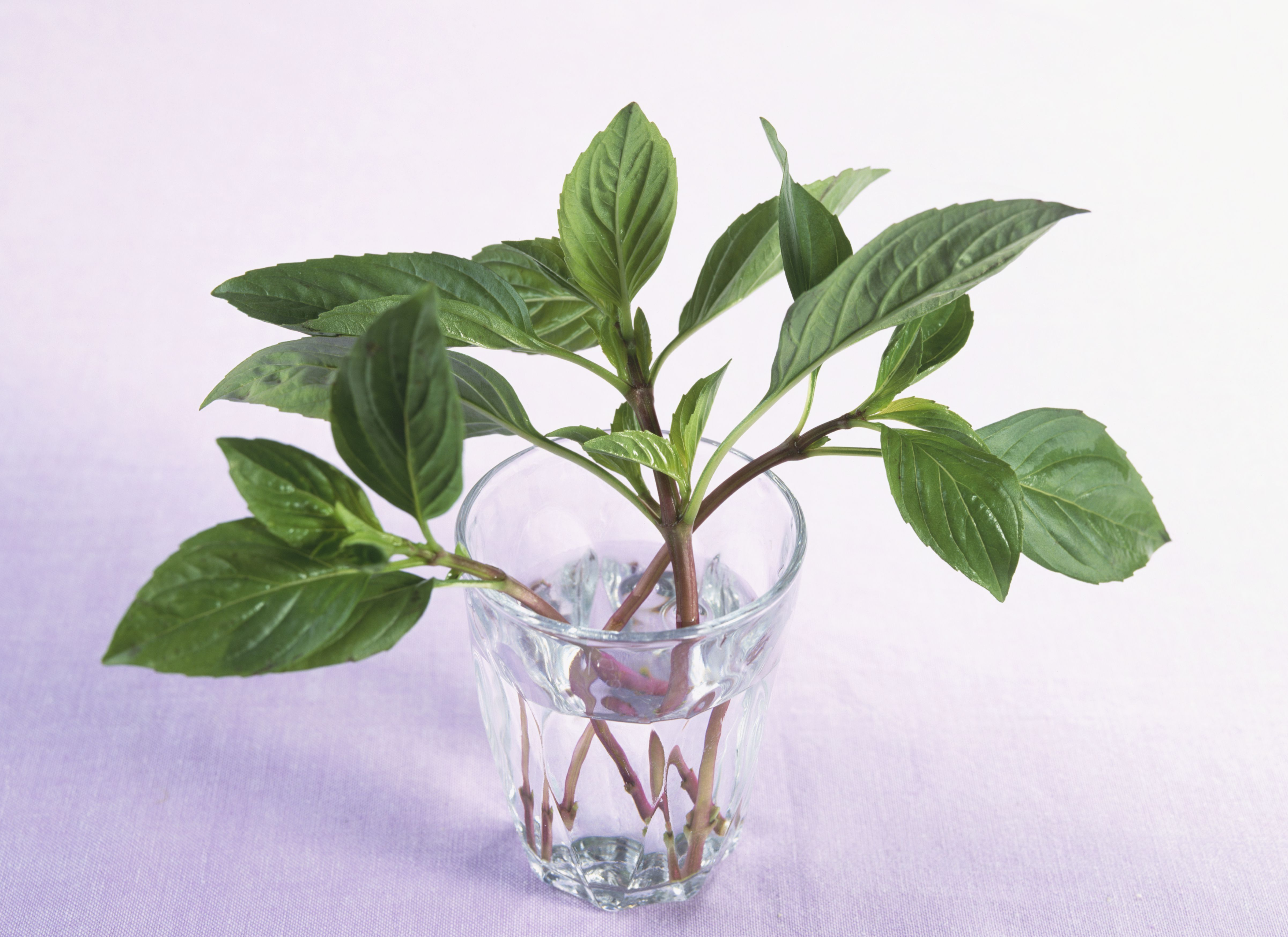 Used Auto Glass >> The Best Way to Store Basil and Keep It Fresh