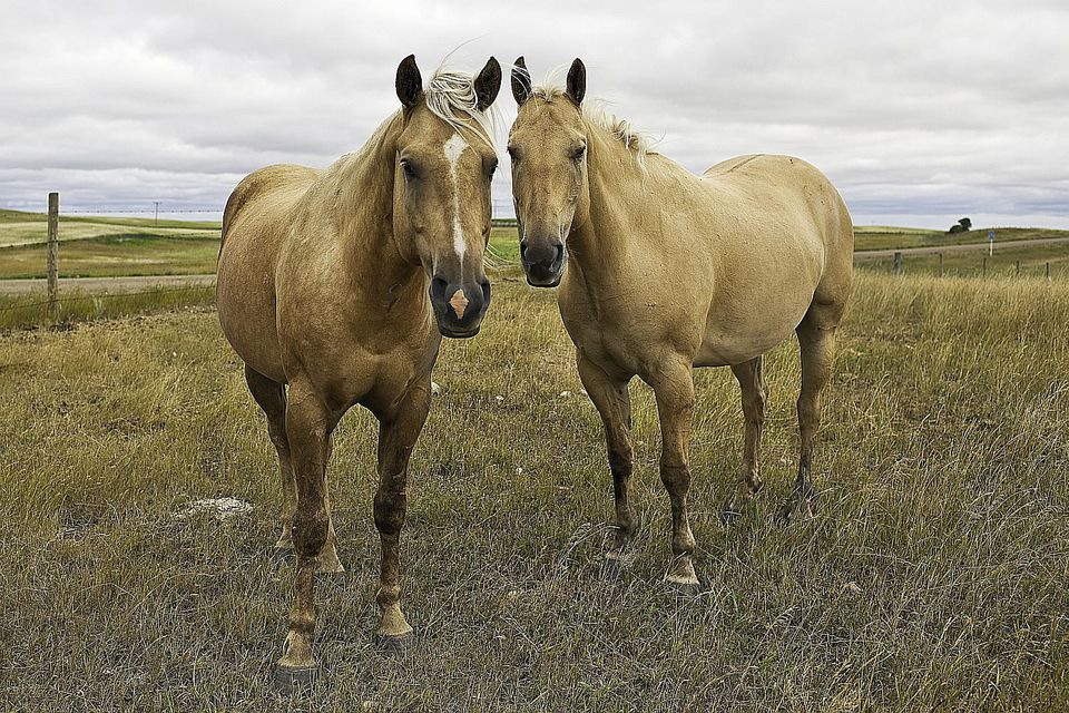 Two American Quarter Horses standing in a pasture.