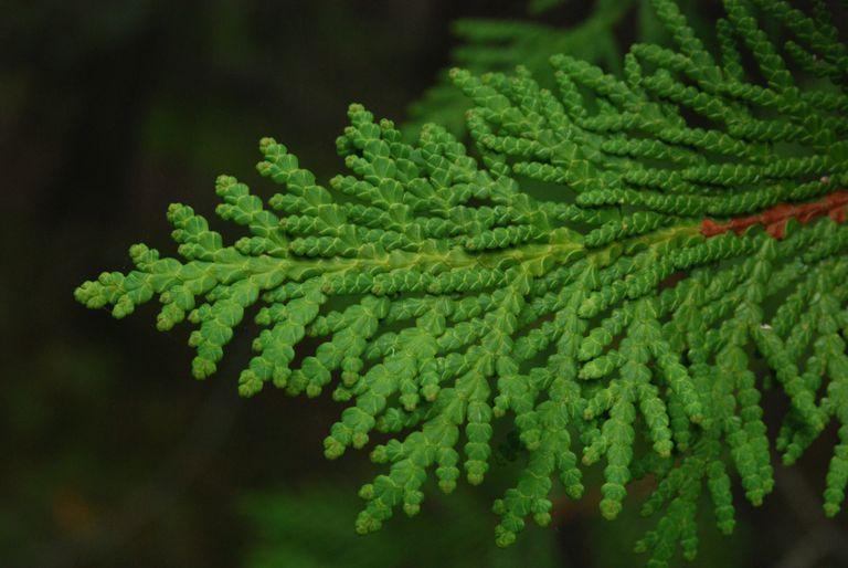 white cedar leaves