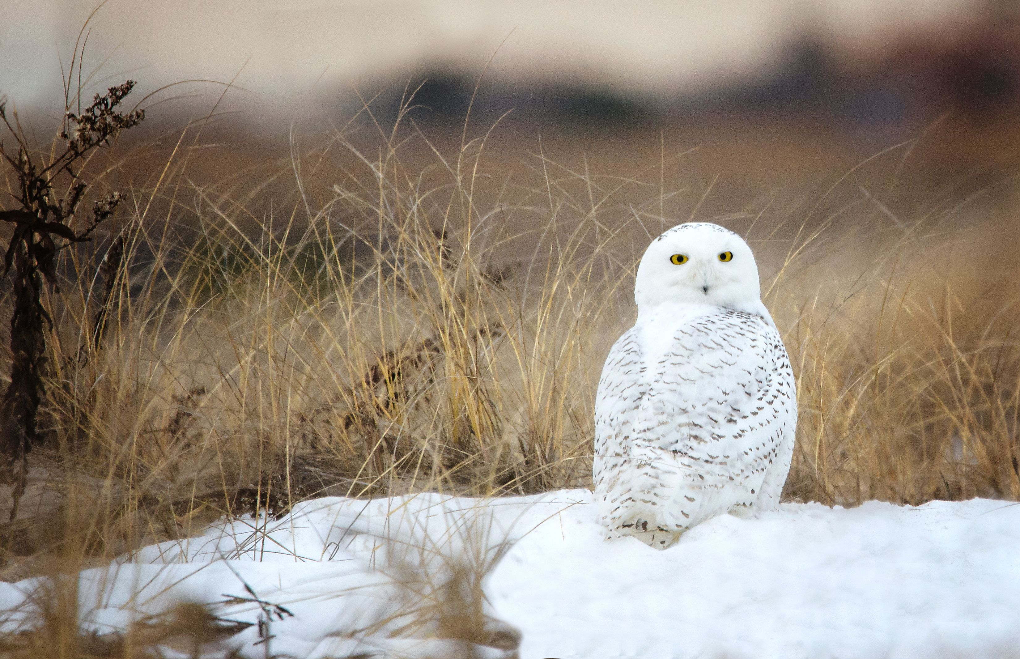 Fascinating facts about snowy owls biocorpaavc Choice Image