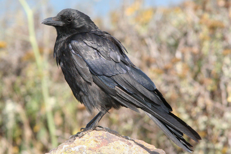 american crow 5a44244c845b3400379b0163