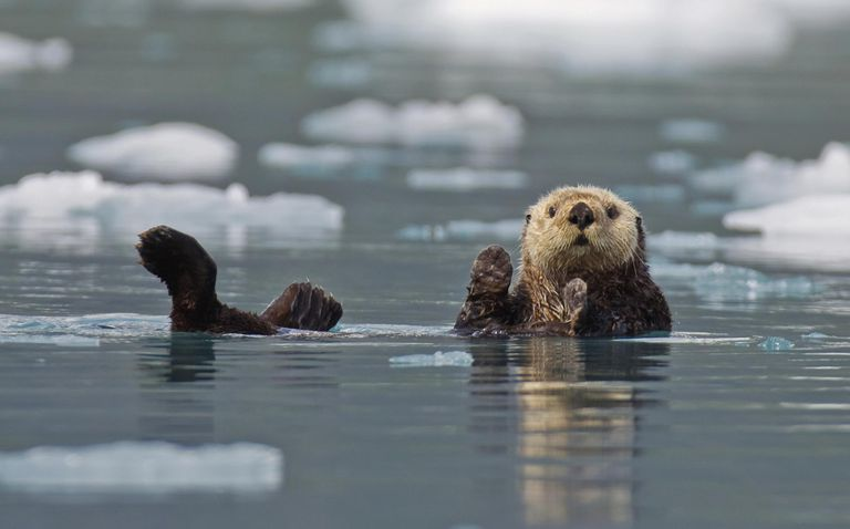 Sea Otter (Enhydra Lutris) Swims On It's Back