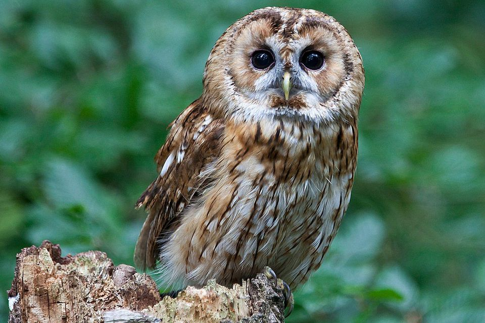 learn more owl species - Owl Picture