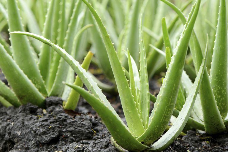 Sábila (Aloe vera)