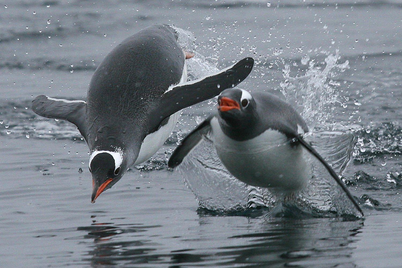 Porpoising Definition - How Penguins Swim
