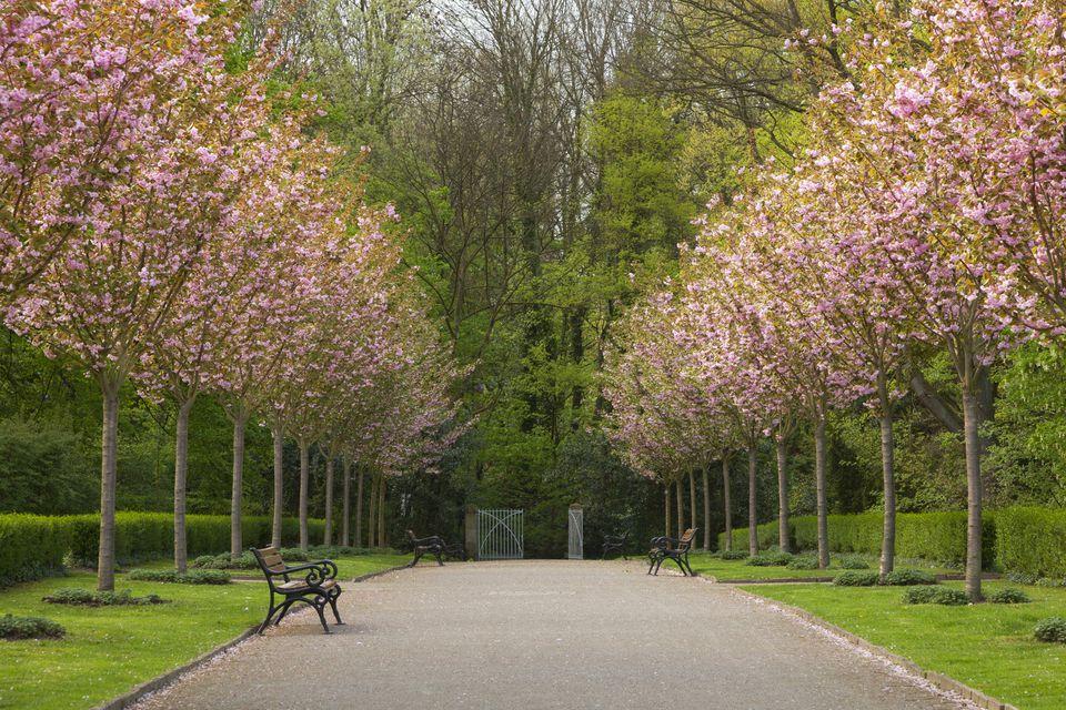 Alley of flowering cherry trees, Romberg park, Dortmund, North-Rhine Westphalia, Germany