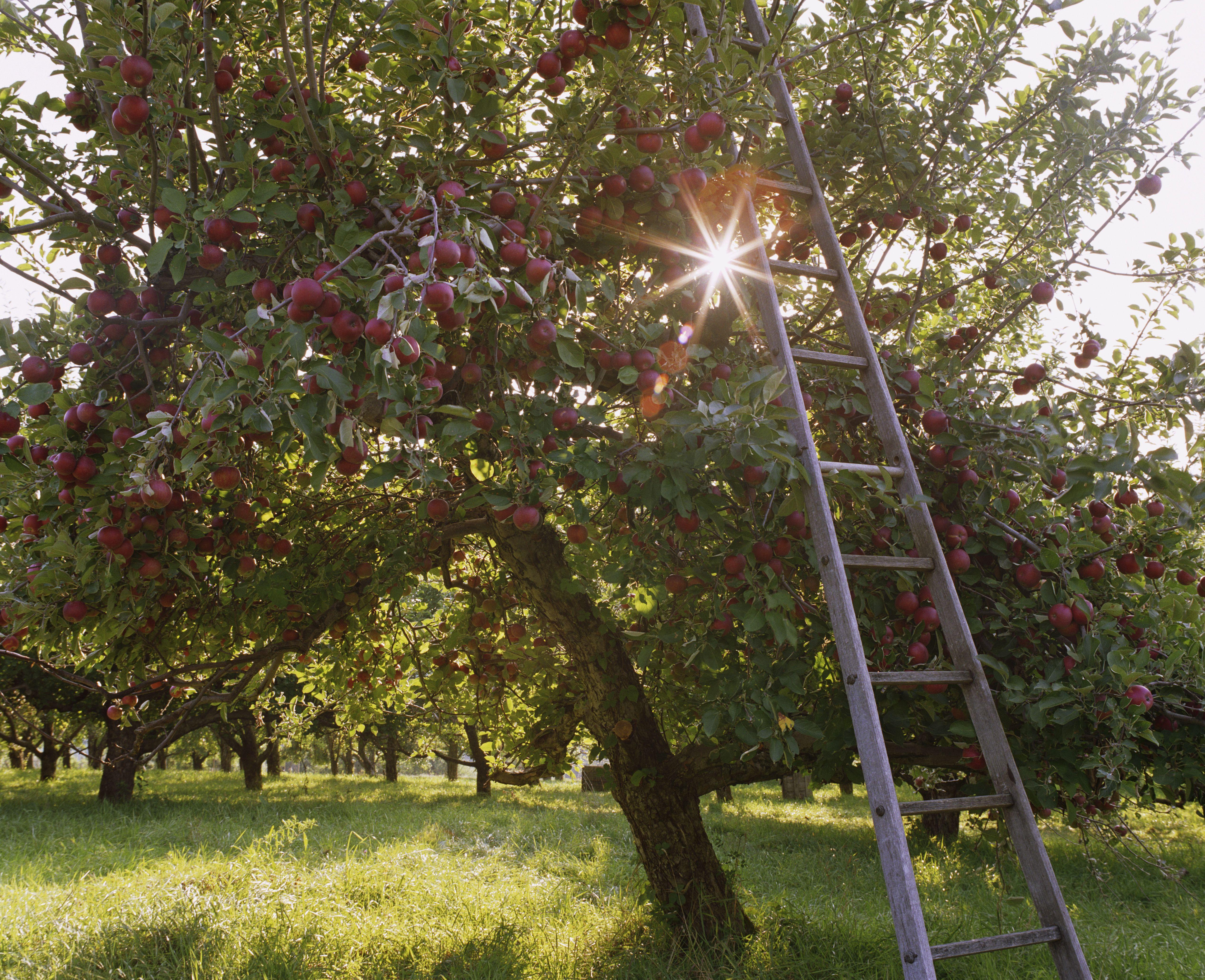 How To Prune An Overgrown Apple Tree