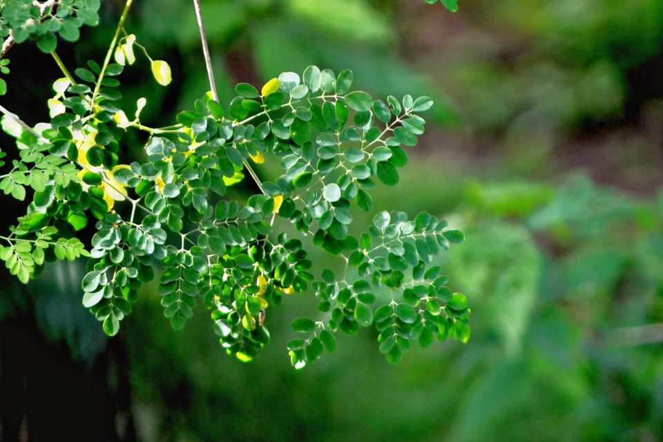 the potential of malunggay moringa oleifera Potential of moringa oleifera in the treatment of benign prostate hyperplasia: role of antioxidant defence systems january 1, 2018 this study sought to evaluate the protective effect of ethanolic leaf extract of moringa oleifera (m oleifera ) on testosterone-induced benign prostatic hyperplasia (bph) in male sprague-dawley rats.