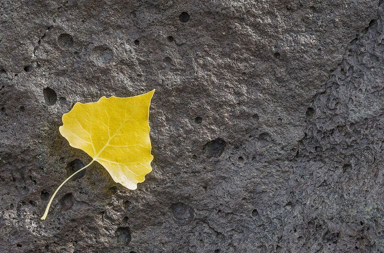 Cottonwood leaf Cottonwood leaf on volcani...