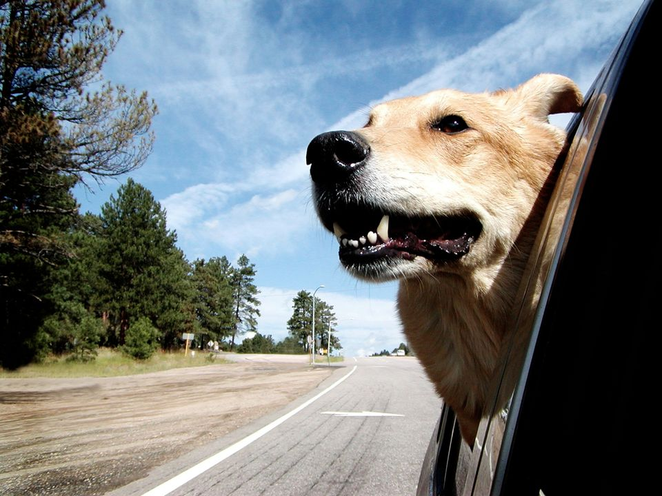 Australian Shepherd dog with Head out of Window