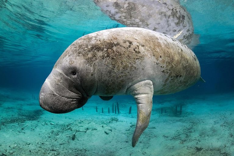 This manatee belongs to one of two groups of sirenians alive today.