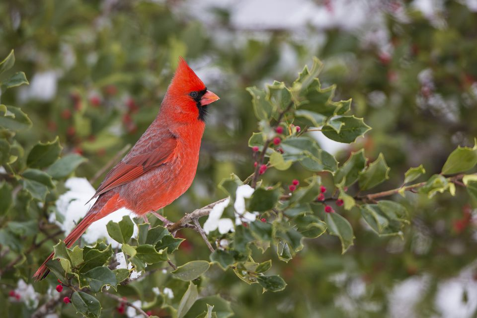 Cardinal perched on an American holly.
