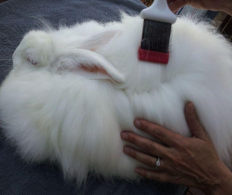 Learn How To Groom An Angora Rabbit