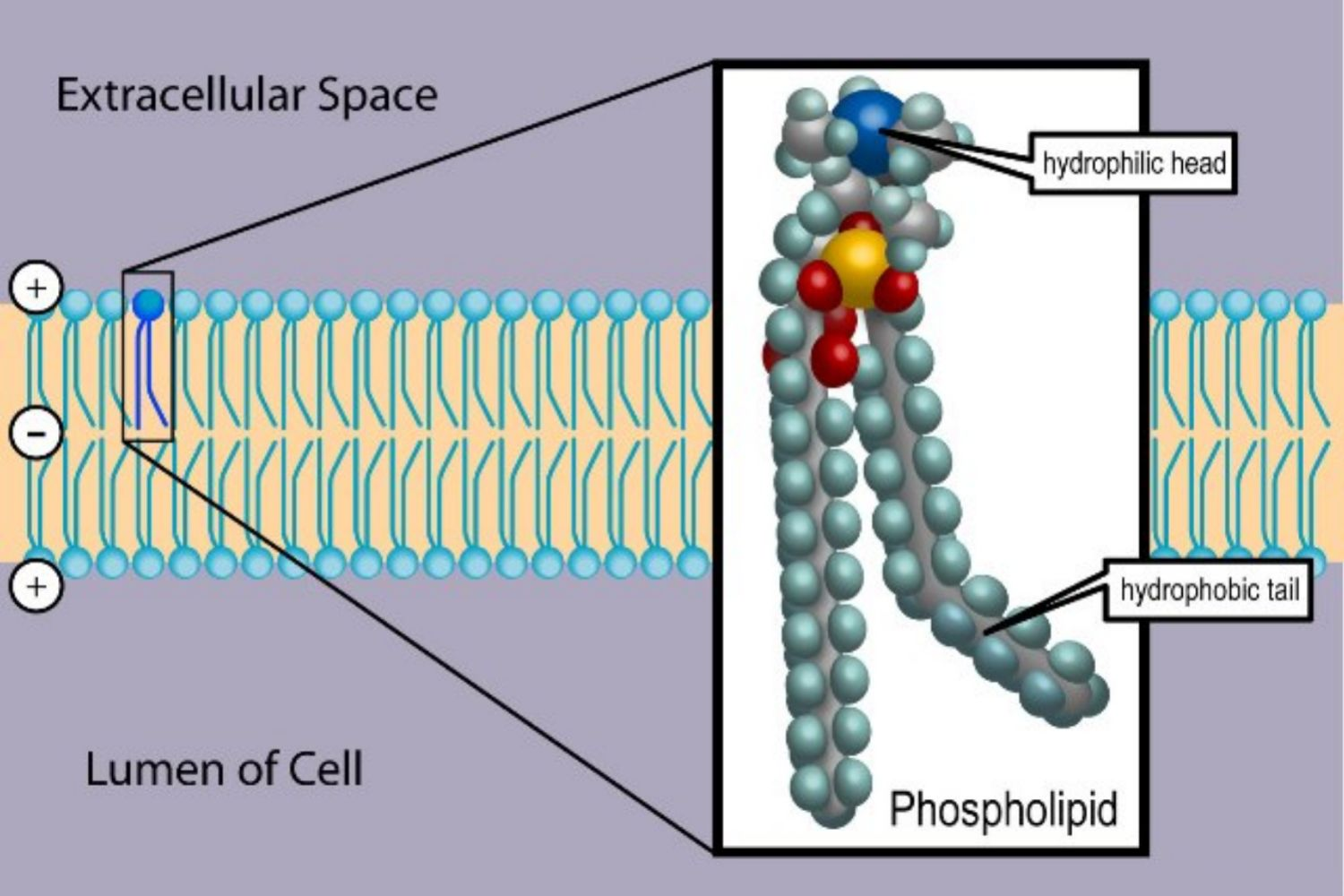 How Phospholipids Help Hold a Cell Together