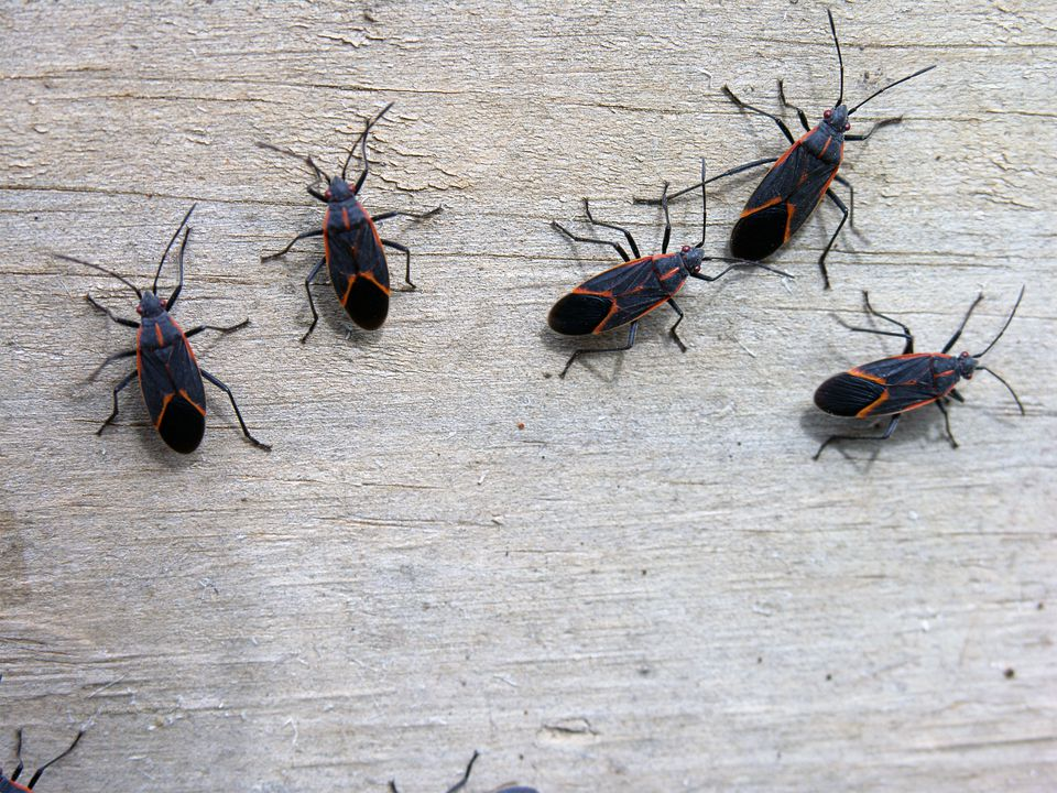 Insects - Box Elder Bugs