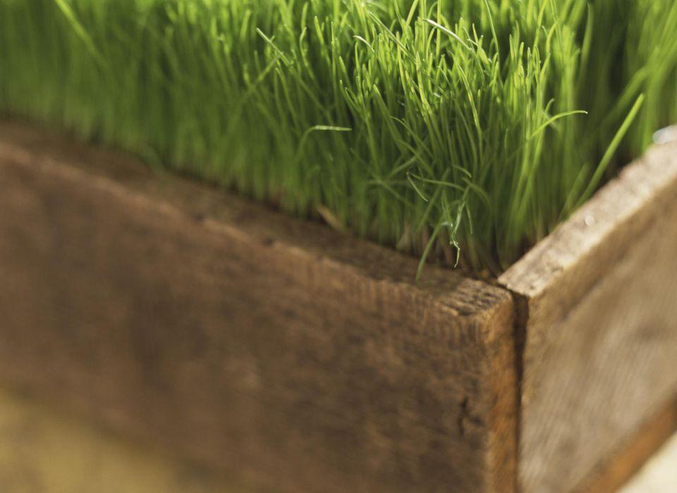 Wheatgrass in wooden planter