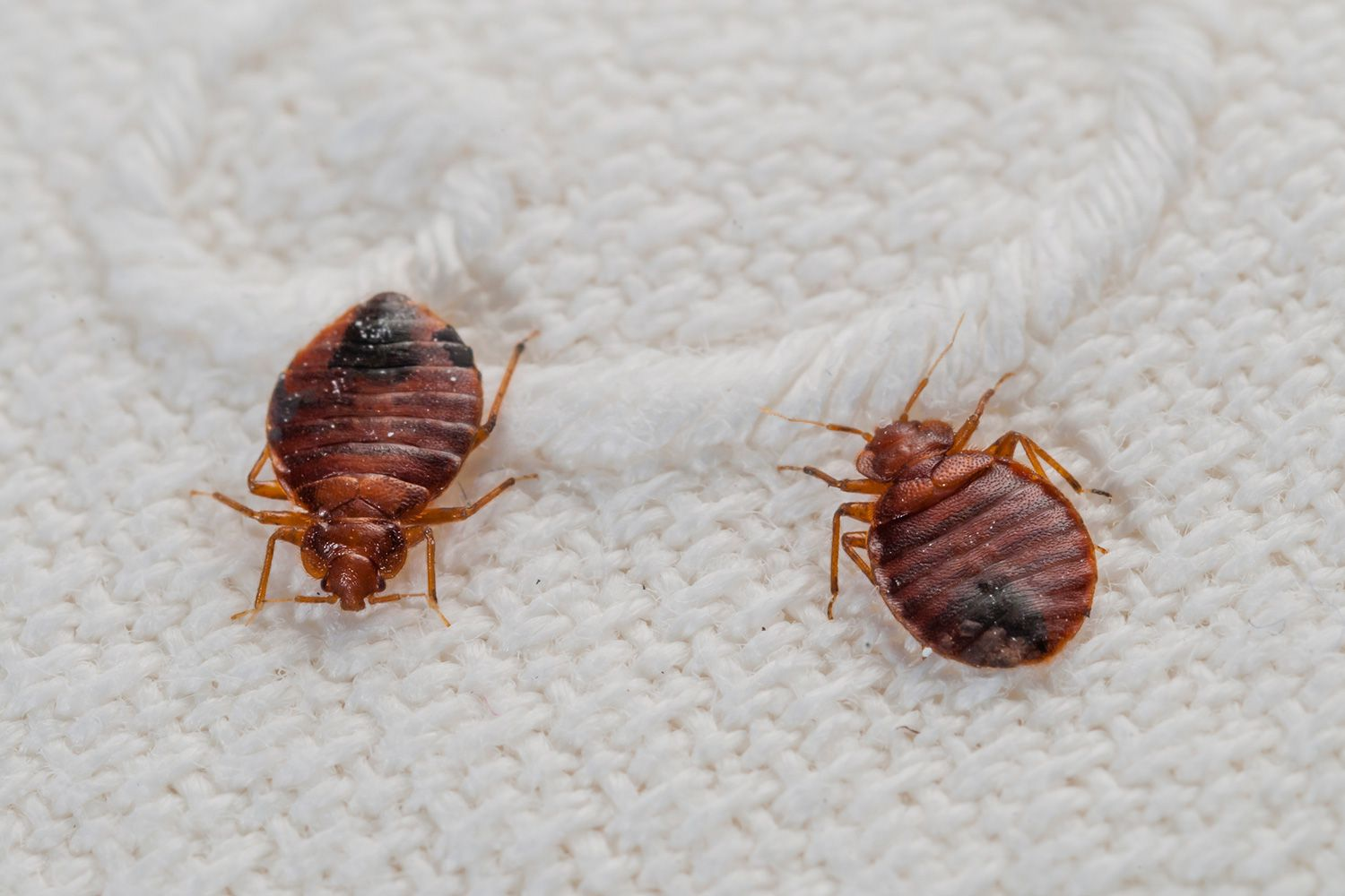 10 Myths About Bed Bugs. What Are These Tiny Black Bugs in My House
