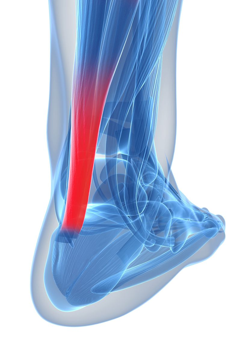 The Achilles tendon, in red.