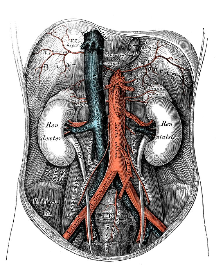 Blood vessels of the abdomen and pelvis