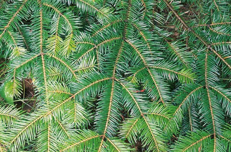Balsam Fir Tree Branch
